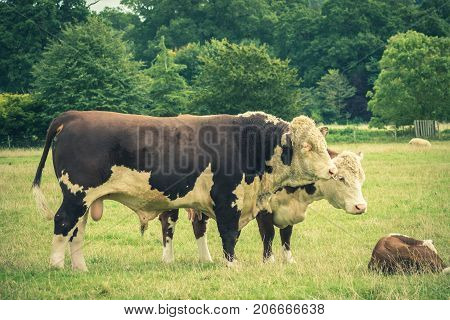 Simmental Bull and family close to Lacock village Wiltshire England UK