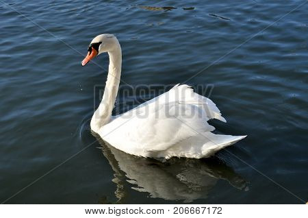 White Swan gracefully folded its wings. a beautiful reflection of the Swan in the water France. Metz.