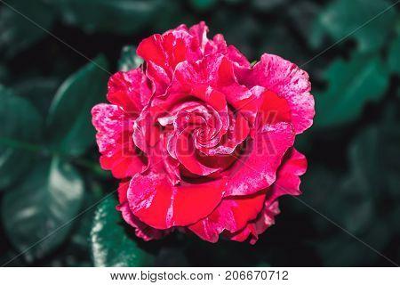Pockmarked rose flower red pink summer flowerbed close up