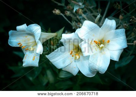 Lily flower white summer flowerbed close up background