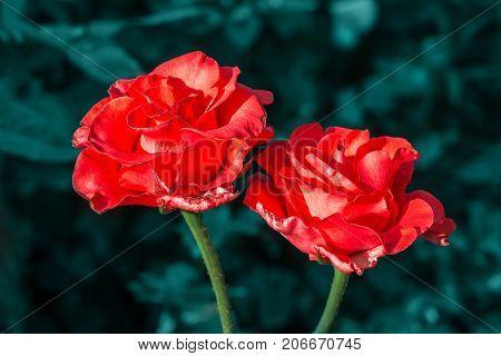 Rose flower orange summer flowerbed close up
