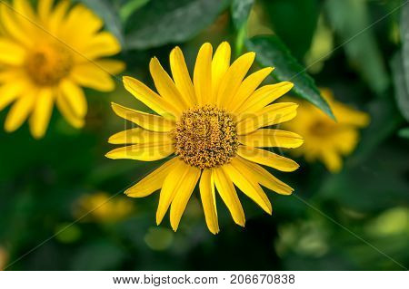 Yellow chamomile flower summer flowerbed close up