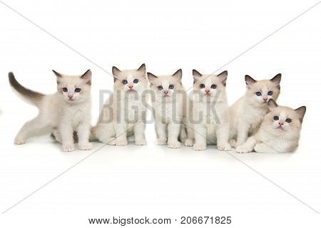 Six little cute white ragdoll kitten with blue eyes on a white background. A lot of kittens on a white background.
