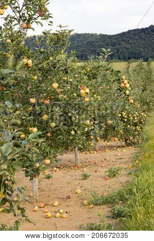 Row Of Apple Trees In Orchard In Countryside