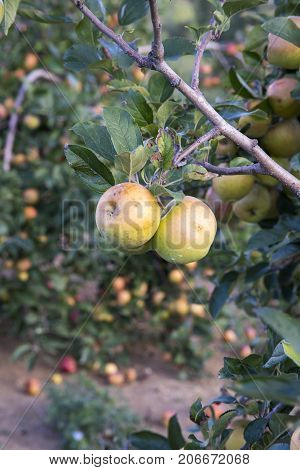 Apples On Tree In Orchard In Countryside