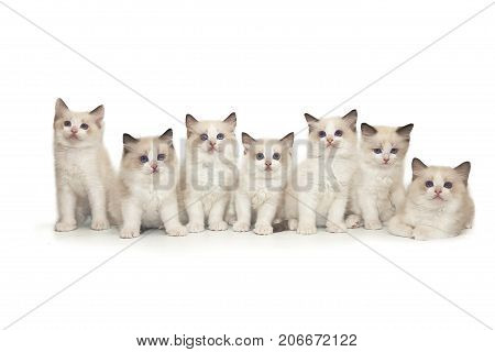 Seven small cute white ragdoll kitten with blue eyes on a white background. A lot of kittens on a white background.