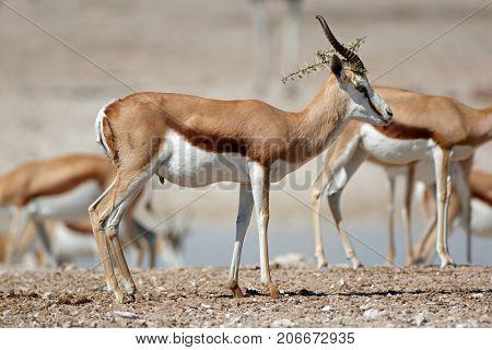 Springbok antelopes (Antidorcas marsupialis) in natural habitat, Etosha National Park, Namibia