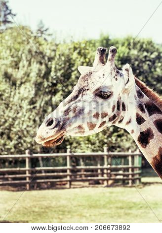 Rothschild's giraffe - Giraffa camelopardalis rothschildi in captivity. Retro photo filter. Animal scene.