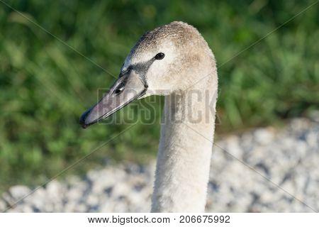 swans in the ornithological Park of Sochi Krasnodar region