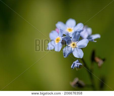 Field Forget-me-not (myosotis Arvensis)