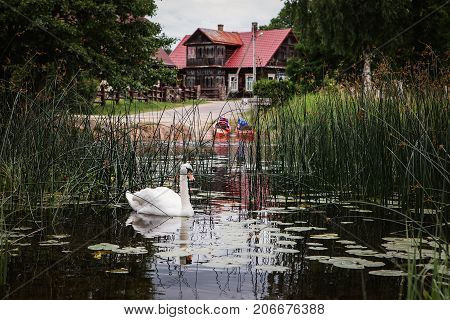 Lithuanian village Ginuciai. River Srove with club-rush plants and white swan.