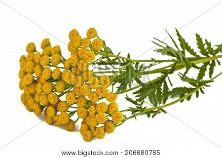 Flowers the medicinal plant of tansy lat. Tanacetum vulgare isolated on white background