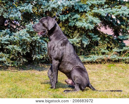 Great Dane seats in profile.  The Blue color  Great Dane stands on the grass in park.
