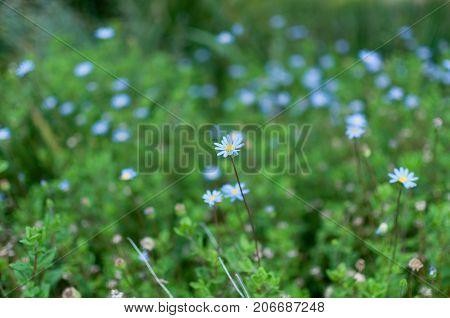 Blue flower daisy daisies in green meadow field