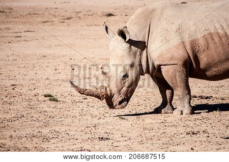 White rhino in south african protected range safari