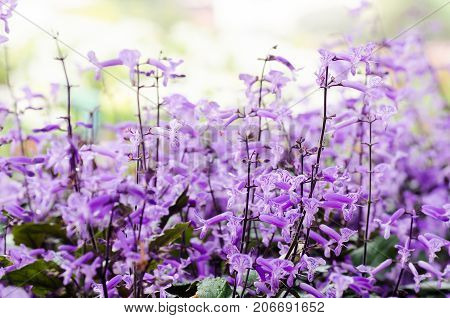 Mona lavender flower blossom in a garden.Nature background