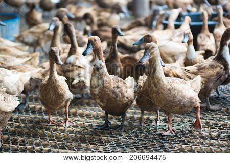 Group Of Ducks In Farm, Traditional Farming In Thailand.