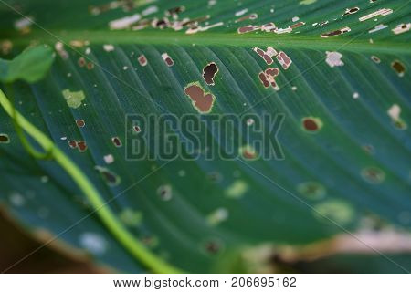 Leaf With Holes, Eaten By Pests, Diseased And Decayed Weeping Green Leaf Lace Selective Focus