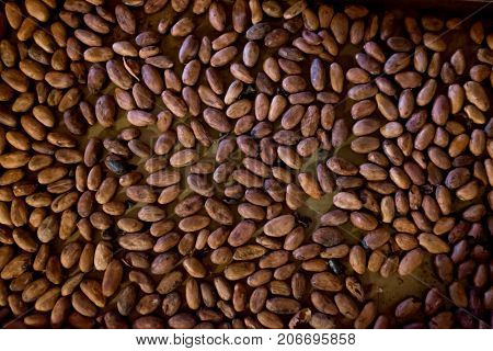 Roasted cocoa beans for making chocolate from scratch bean to bar