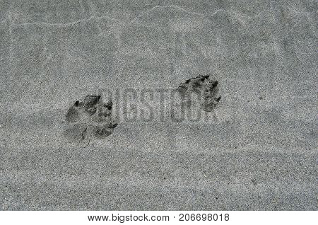 Fresh wolf tracks in wet sand on a beach of the Brookes Peninsula Vancouver Island.