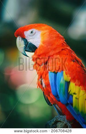 Scarlet macaw parrot, vertical composition, selective focus