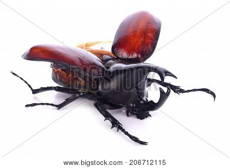 insect beetle rhino beetle bug isolated on white background