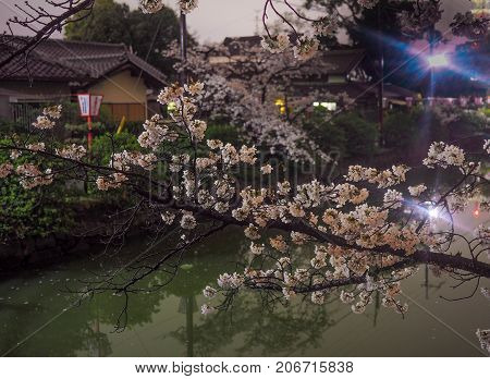 Cherry Blossoms And Castle Moat