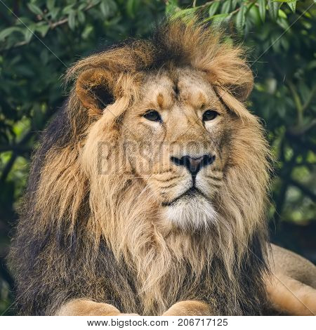 Beautiful Portrait Of Asiatic Lion Panthera Leo Persica