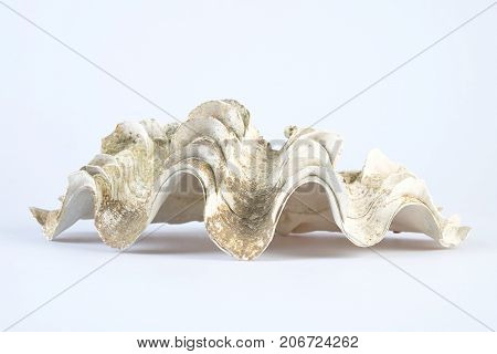 Giant white clam shell on white background