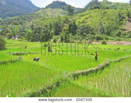 Nice Green Ricefields, Andapa, Marojejy Park, Madagascar