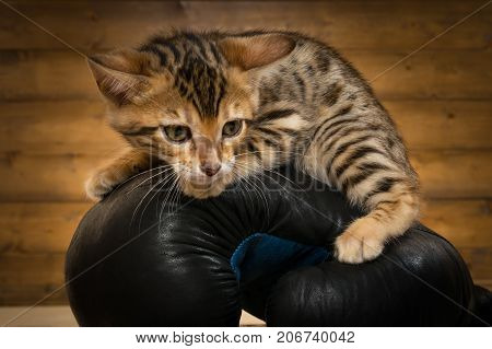 little kitty sits on a glove for boxing close-up