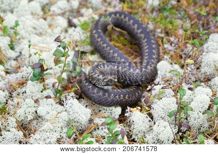 Siberian viper in the wild among the reindeer moss