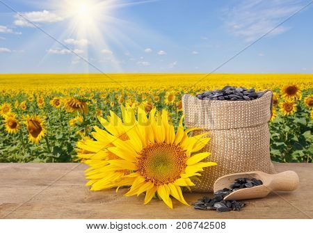 sunflower seeds in burlap bag, fresh sunflowers, scoop with seeds on wooden table with natural background. Blooming sunflower field with blue sky and sunshine. Agriculture and harvest concept