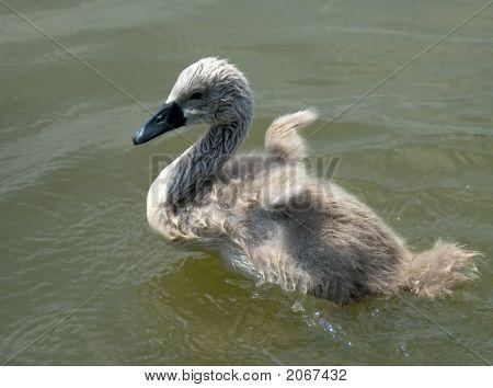 Little Swan