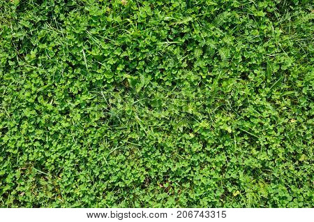 Texture of a Clover Lawn. Background of a Green Clover Texture