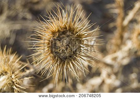 dry thorn remains, dry thorn pictures, dried thorns of kenger plant, thorn pictures,