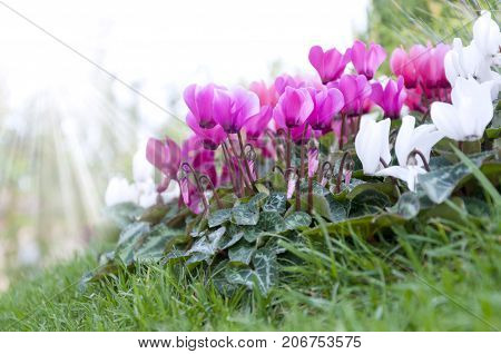 cyclamen flowers on a flowerbed in an autumn park