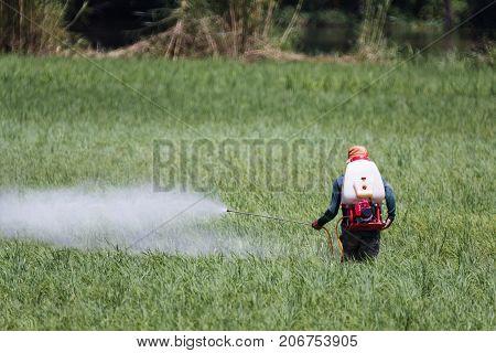 Farmer spraying pesticide on rice field .