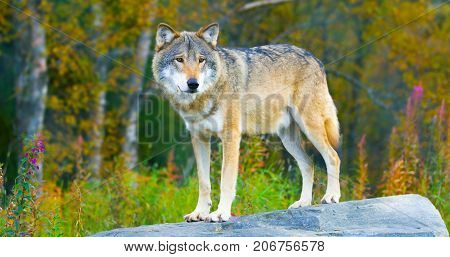 Male grey wolf standing on a rock in the forest observing. Wolf in profile.