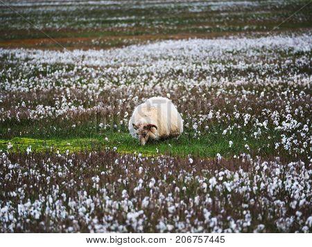 Icelandic sheep grazing in the Landmannalaugar Valley Iceland