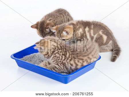 cat kittens in toilet tray box with litter isolated on white