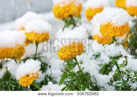 Yellow marigold flowers covered with first snow
