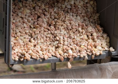 Raw Cocoa Beans, Fresh Cocoa Beans In Box