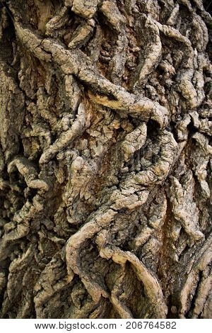 Part of the trunk of the old elm-tree covered with deep furrows