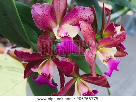 Jumbo Purple and pink orchid flowers with green leaf