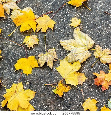 maple leafs fall off the tree during autumn time