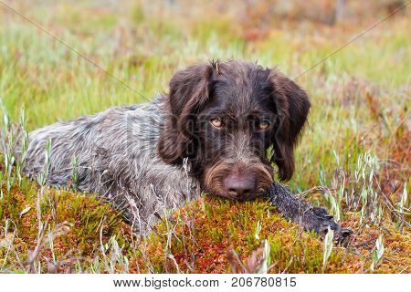 portrait of hunting dog german wirehaired pointer outdoors