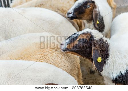 White Sheep and black sheep in farm.