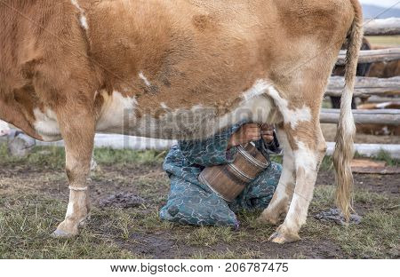hands of a mongolian nomad woman milking a cow