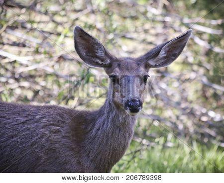 A Close Up Portrait of a Mule Deer Doe